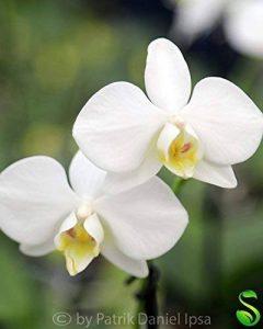 Lot de 1 Phalaenopsis Aphrodite frais Orchidée chambre Plant Original Orchidées L13 de la marque Samenhandel Ipsa Import und Handel image 0 produit