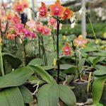 Lot de 1 phalaenopsis golden sun tying frais Orchidée Plant Original Orchidées L11 de la marque Samenhandel Ipsa Import und Handel image 1 produit