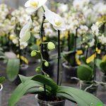 Lot de 1 Phalaenopsis philippinensis hybride frais chambre Orchidée PLANTES NEUF L32 de la marque Samenhandel Ipsa Import und Handel image 1 produit