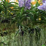 Lot de 1 Vanda pachara delight Sander T FRAIS Orchidée Plant Original Orchidées L12 de la marque Samenhandel Ipsa Import und Handel image 1 produit