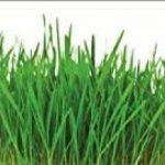 Lot de deux sachets de graines de gazon / Semences de gazon spécial ombre idéal pour faire pousser la pelouse sur des zones ombragées (1kg pour une surface d'herbe d'environs 40m²) de la marque Greentower image 2 produit