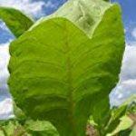 Magic Garden Seeds Kit de graines: 'Tabac à cigarettes', 3 variétés de tabac pour créer vos propres mélanges de tabac à rouler, présentées dans une belle boîte cadeau de la marque Magic Garden Seeds image 1 produit