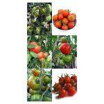 Magic Garden Seeds Kit de semences: 'Plantes de tomate anciens', graines de 3 variétés de tomates du patrimoine savoureuses, présentées dans une belle boîte-cadeau de la marque Magic Garden Seeds image 1 produit