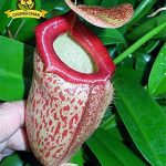 Manger moustiques Plantes carnivores Graines Nepenthes 200pcs / sac Pitcher Tropical Plante Catch insectes Jardin Bonsai pot Easy Grow 8 de la marque SVI image 2 produit