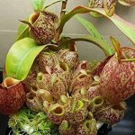 Manger moustiques Plantes carnivores Graines Nepenthes 200pcs / sac Pitcher Tropical Plante Catch insectes Jardin Bonsai pot Easy Grow 8 de la marque SVI image 3 produit