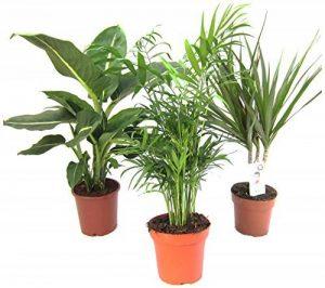 Mélange de plantes II Set de 3, 1x diefenb achia, 1x Chamaedorea 1x Dracaena marginata, pot 10–12cm. de la marque Amazon.de Pflanzenservice image 0 produit