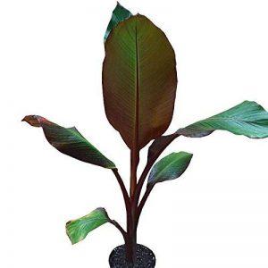Musa maurelii - Bananier rouge - Ensète d'Abyssinie de la marque mesarbustes image 0 produit