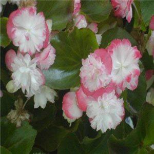 Nouvelle arrivée 12 Color1000 mix odorants bégonia Graines vivace Fleurs de jardin Bonsai, acheter 2 obtenir 10 Rose cadeau de la marque SVI image 0 produit