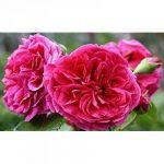 Odorants Fille Red Rose Graines de fleurs 100 graines - ACHETER 4 ARTICLES de la marque SVI image 1 produit
