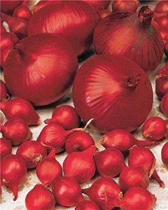 oignons à planter au printemps TOP 2 image 0 produit