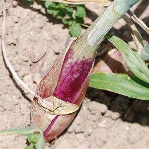 oignons à planter au printemps TOP 4 image 0 produit