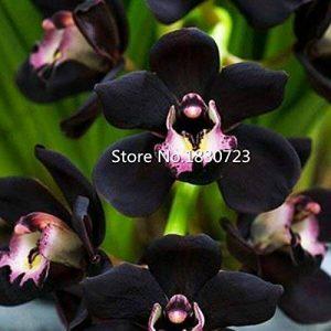 orchidée noir TOP 6 image 0 produit