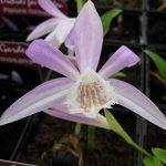 orchidée terrestre TOP 0 image 2 produit