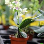 orchidée terrestre TOP 12 image 1 produit