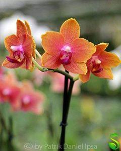 orchidée terrestre TOP 2 image 0 produit