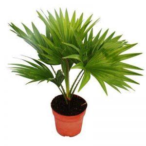 Palmier de pièce - Livistona rotundifola - la plante d'appartement de la marque exotenherz.de image 0 produit