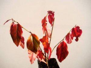 Parrotia Persica Persica persan Bois de fer Fresh Starter Plante (12–15cm de haut) dans un pot de 7cm–Petit arbre avec Derrière Automne Coloration de la marque Tree Online Nursery image 0 produit