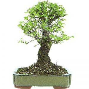 petit arbre japonais bonsaï TOP 10 image 0 produit