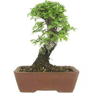 petit arbre japonais bonsaï TOP 9 image 0 produit