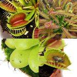 plante carnivore mouche intérieur TOP 0 image 1 produit