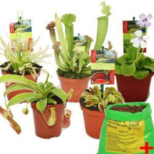 plante carnivore mouche intérieur TOP 2 image 0 produit