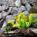 plante carnivore mouche intérieur TOP 7 image 4 produit