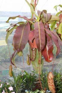 Plante d'intérieur - Nepenthes - Plante carnivore suspendue de la marque Olive Grove image 0 produit