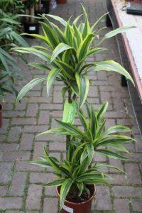 Plante d'intérieur - Plante pour la maison ou le bureau - Dracaena fragrans - Citron/citron vert, hauteur 1,2m de la marque Olive Grove image 0 produit