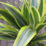 Plante d'intérieur - Plante pour la maison ou le bureau - Dracaena fragrans - Citron/citron vert, hauteur 1,2m de la marque Olive Grove image 1 produit