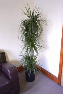Plante d'intérieur - Plante pour la maison ou le bureau - Dracaena marginata - Dragonnier de Madagascar, hauteur 1,4m de la marque Olive Grove image 0 produit