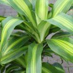 Plante d'intérieur - Plante pour la maison ou le bureau - Dracaena massangeana, hauteur environ 90cm de la marque Olive Grove image 1 produit