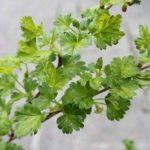 """Plante à fruits tendres - Groseillier à maquereau buissonnant """"Careless"""" de la marque Olive Grove image 2 produit"""