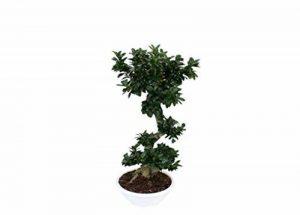 Plante ornementale Bonsai Ficus ginseng Par le corps vicieuse en bol blanc 40cm–H 120cm de la marque VEG SRLS image 0 produit