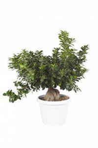 Plante ornementale d'intérieur verte vraie BONSAI FICUS GINSENG ornamental en pot 30 cm - H 60-70 cm de la marque secretgiardino.com image 0 produit