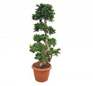Plante ornementale d'intérieur verte vraie BONSAI FICUS GINSENG 'Snake Shape' avec fût vicieuse en pot 45 cm - H 130 cm de la marque secretgiardino.com image 0 produit