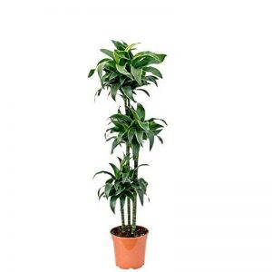 Plante ornementale d'intérieur verte vraie DRACAENA DORADO avec 3 troncs en pot 24 cm - H 130 cm de la marque secretgiardino.com image 0 produit