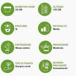 Plante ornementale d'intérieur verte vraie DRACAENA DORADO avec 3 troncs en pot 24 cm - H 130 cm de la marque secretgiardino.com image 1 produit