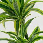 Plante verte - Dracaena fagans dermensis vert citron de la marque FloraAtHome image 1 produit