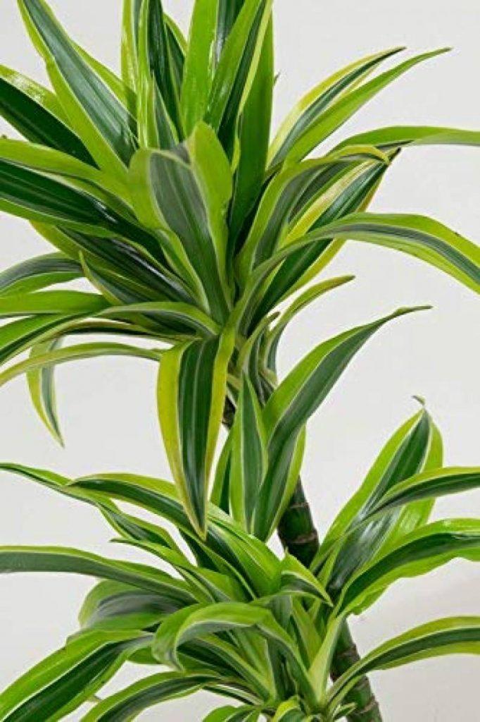 plante verte int rieur dracaena les meilleurs produits pour 2019 top plantes. Black Bedroom Furniture Sets. Home Design Ideas