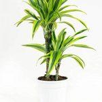 Plante verte - Dracaena fagans dermensis vert citron de la marque FloraAtHome image 3 produit