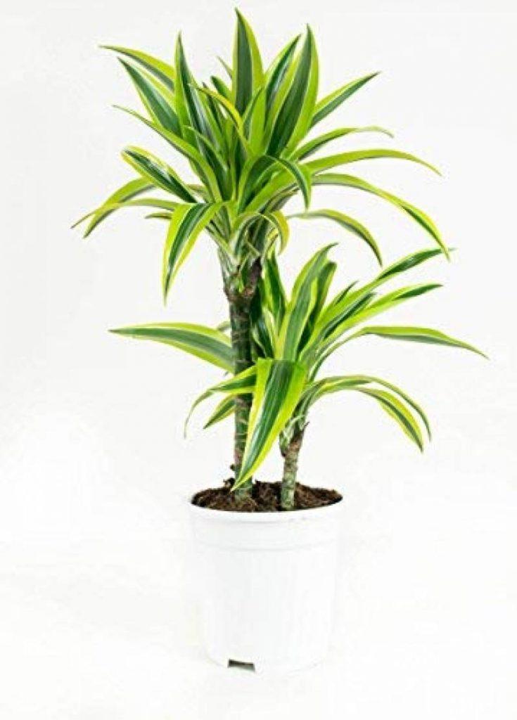 plante verte int rieur dracaena les meilleurs produits pour 2018 top plantes. Black Bedroom Furniture Sets. Home Design Ideas
