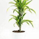 Plante verte - Dracaena fagans dermensis vert citron de la marque FloraAtHome image 4 produit