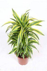 Plante verte - Dracaena Lemon Lime de la marque FloraAtHome image 0 produit