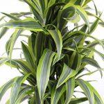 Plante verte - Dracaena Lemon Lime de la marque FloraAtHome image 1 produit