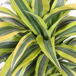 Plante verte - Dracaena Lemon Lime de la marque FloraAtHome image 3 produit