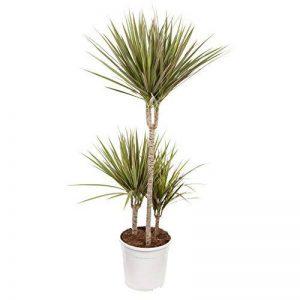 Plante verte - Dracaena Marginata 'Bicolour' de la marque FloraAtHome image 0 produit