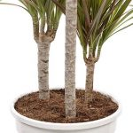 Plante verte - Dracaena Marginata 'Bicolour' de la marque FloraAtHome image 2 produit