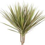 Plante verte - Dracaena Marginata 'Bicolour' de la marque FloraAtHome image 3 produit