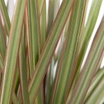 Plante verte - Dracaena Marginata 'Bicolour' de la marque FloraAtHome image 4 produit