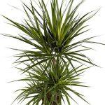 Plante verte - Dracaena Marginata de la marque FloraAtHome image 1 produit